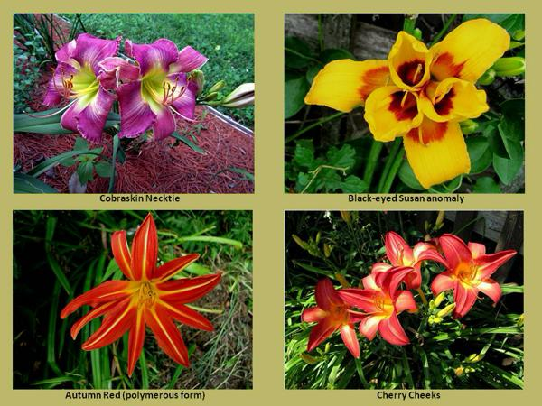 Gallery-Daylily photos