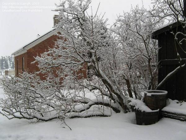Winter-Back patio with snowy lilac