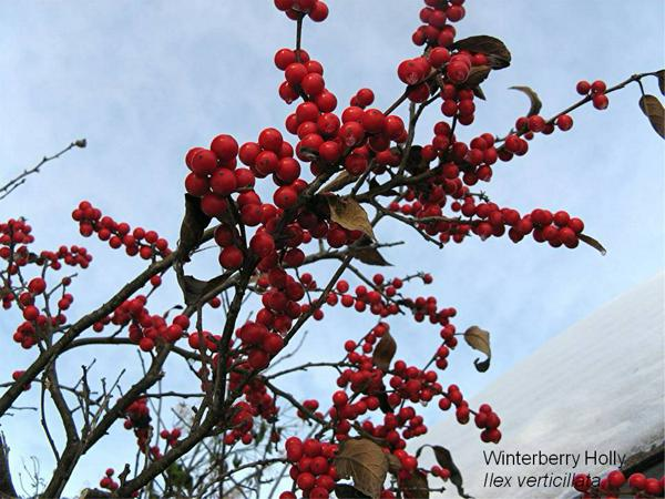 Winter-Holly