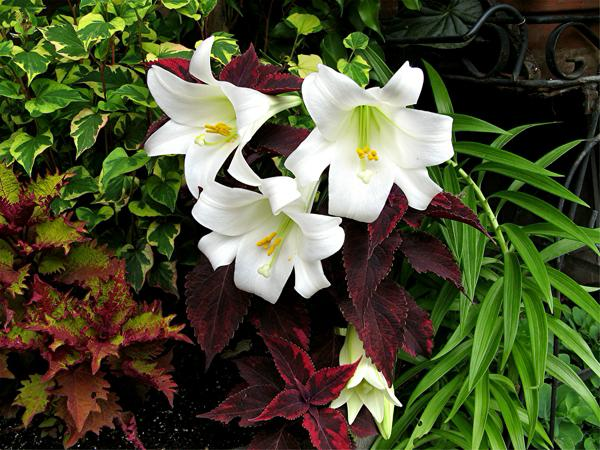 Easter lilies and coleus