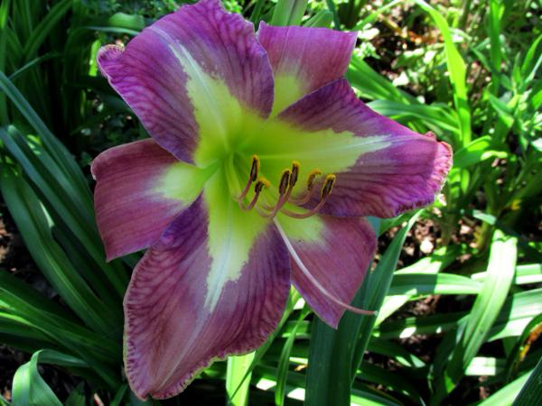 Daylily Aerial Applique