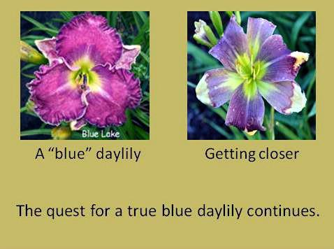 Blog-Blue daylily