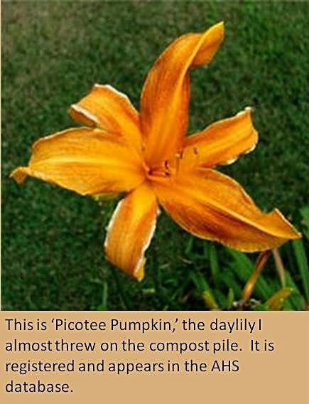 Blog-Picotee Pumpkin