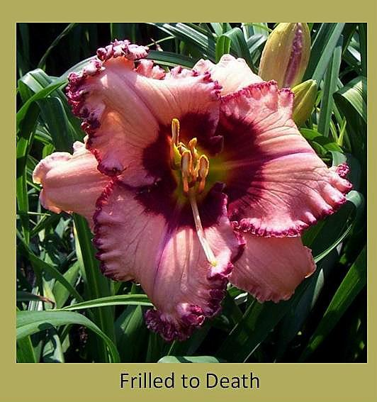 daylily frilled to death