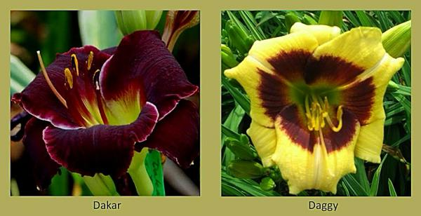 Evergreen daylilies 4