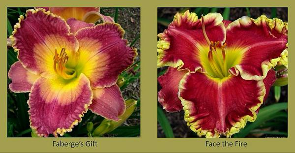 Evergreen daylilies 6