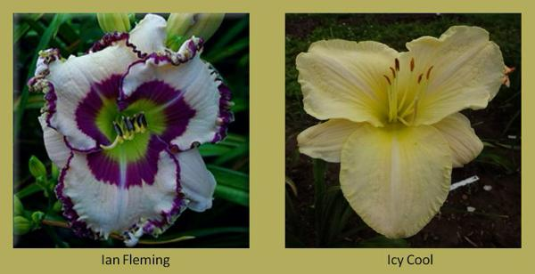 Evergreen daylilies 9