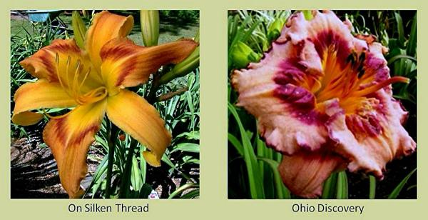 Evergreen daylilies 15