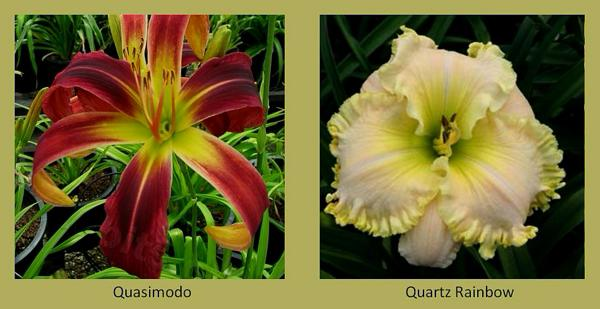 Evergreen daylilies 17