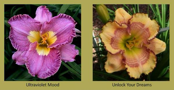 Evergreen daylilies 21
