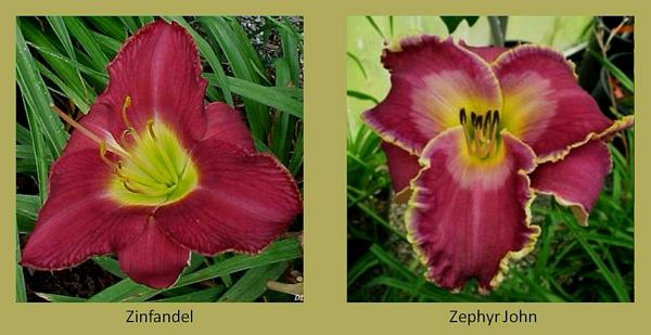 Evergreen daylilies 26