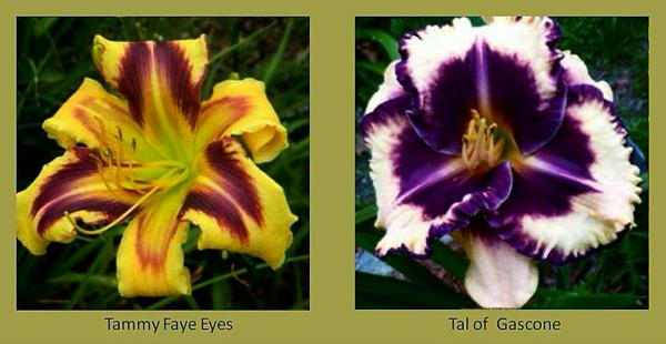 Evergreen daylilies 20