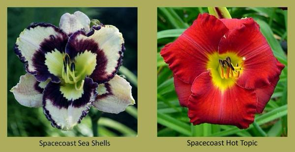 Evergreen daylilies 19