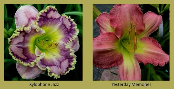 Evergreen daylilies 27