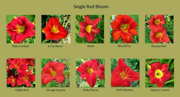 Blog-Red Daylilies