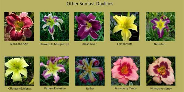 Blog-Other sunfast daylilies