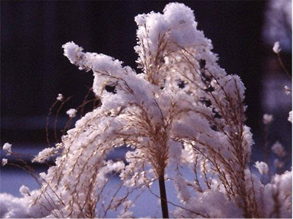 Winter-Snowy plumes of Miscanthus malepartus
