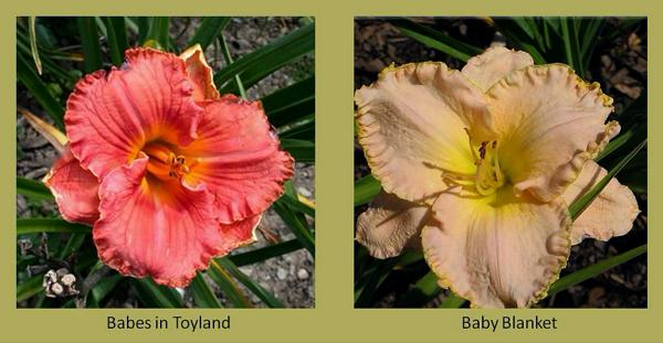 Evergreen daylilies 2