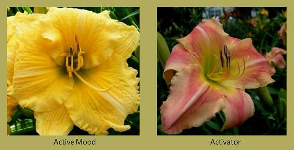 Evergreen daylilies 1