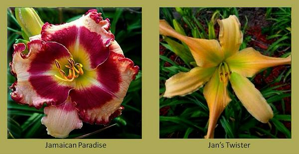 Evergreen daylilies 10