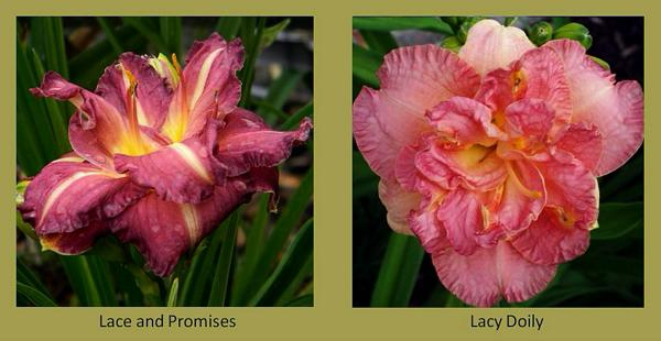 Evergreen daylilies 12
