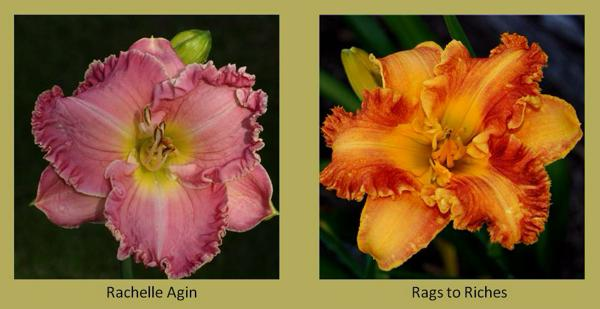 Evergreen daylilies 18