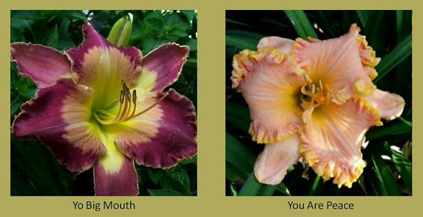 Evergreen daylilies 25