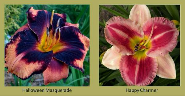 Evergreen daylilies 8